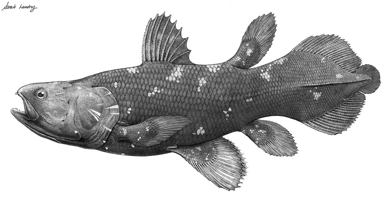 5.-Coelacanth-Graphite-Drawing.jpg 1,300×662 pixels ...